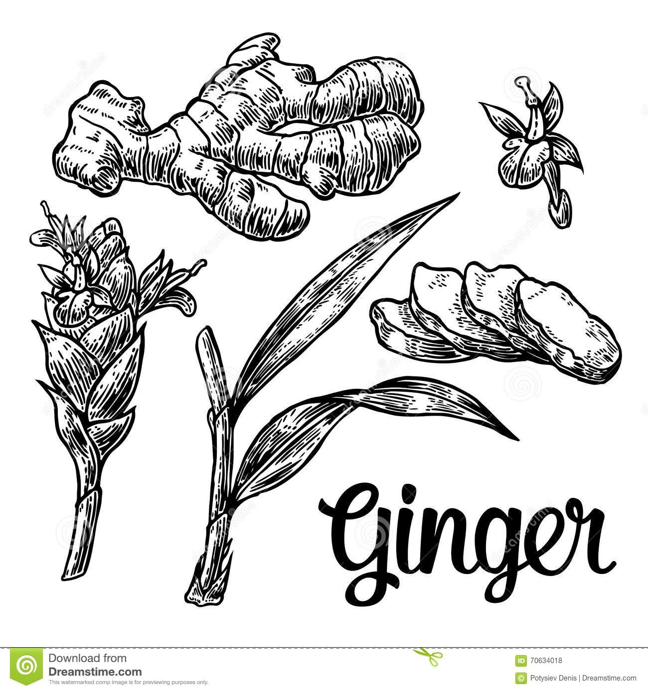 Ginger Root Root Cutting Leaves Flower Buds Stems