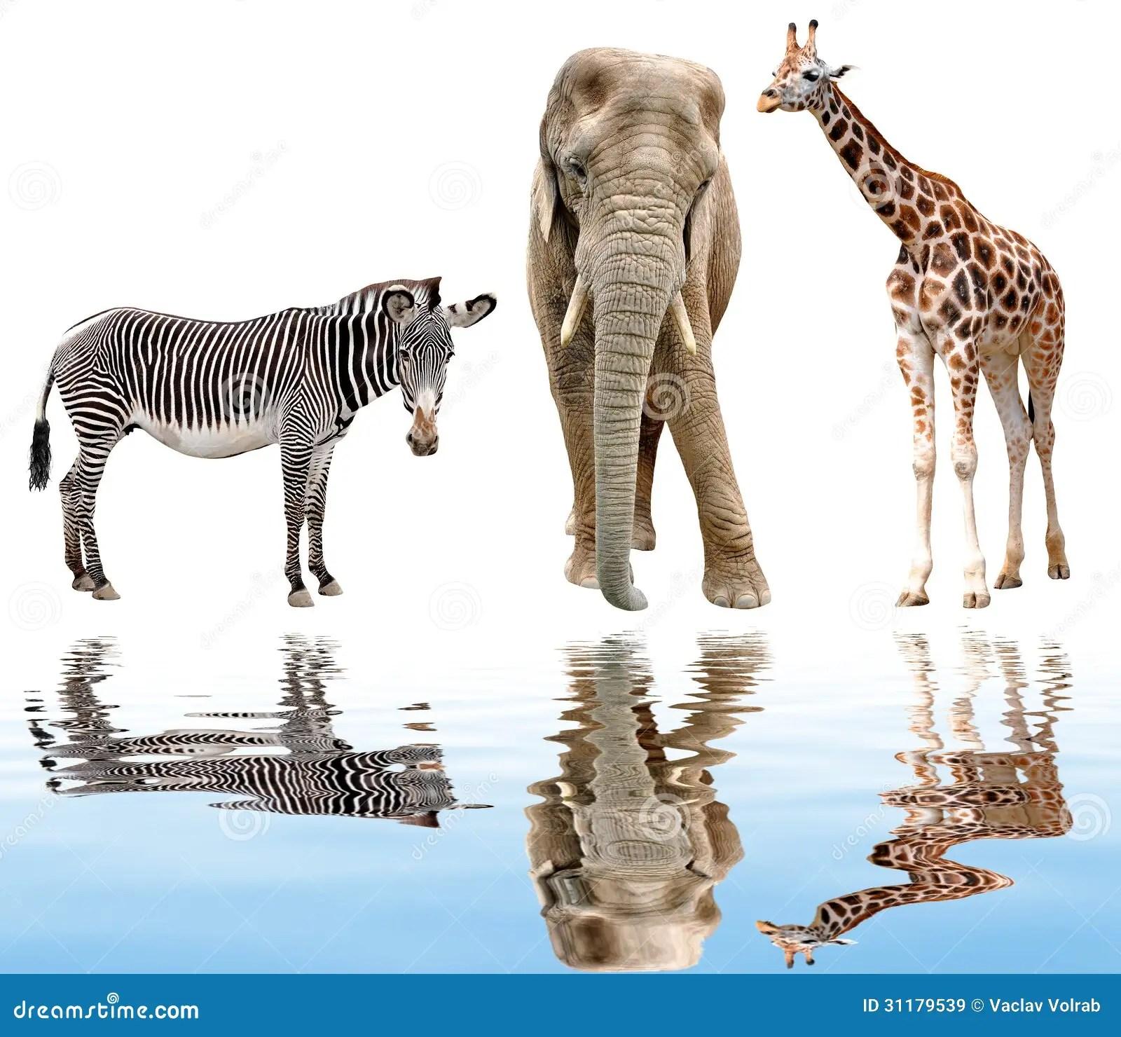 Giraffe Elephant And Zebra Royalty Free Stock Images