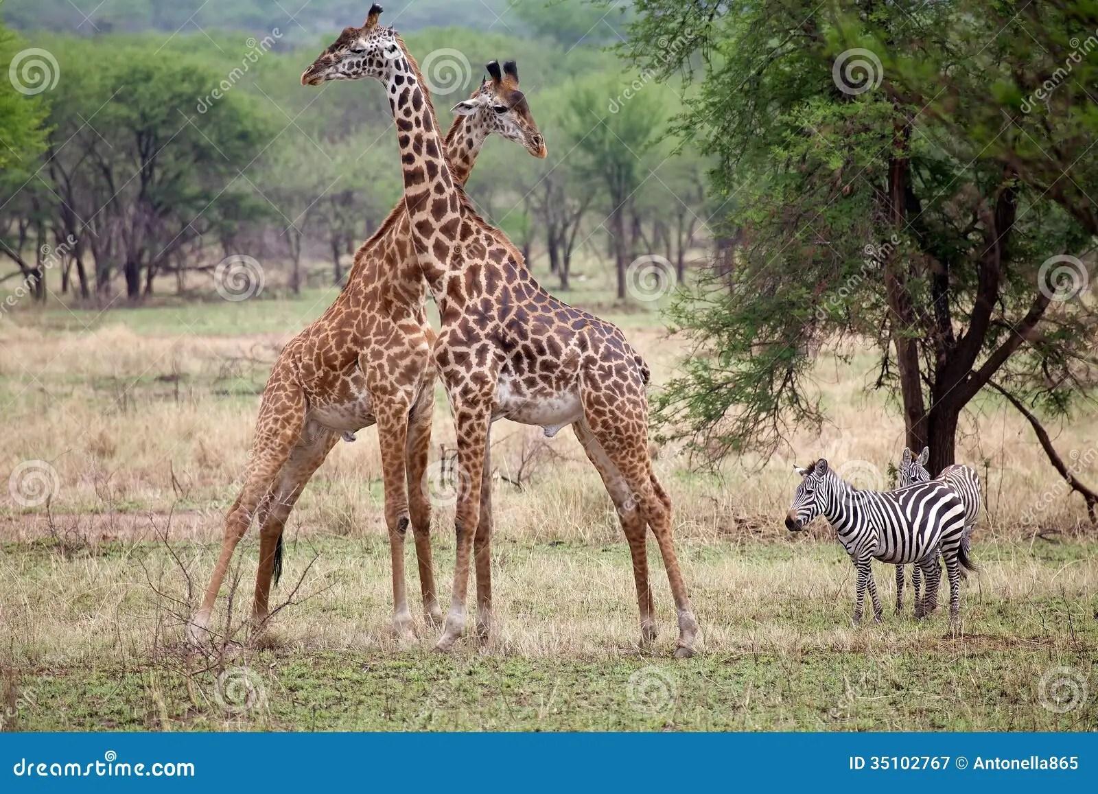Giraffe Giraffa Camelopardalis And Zebra Equus