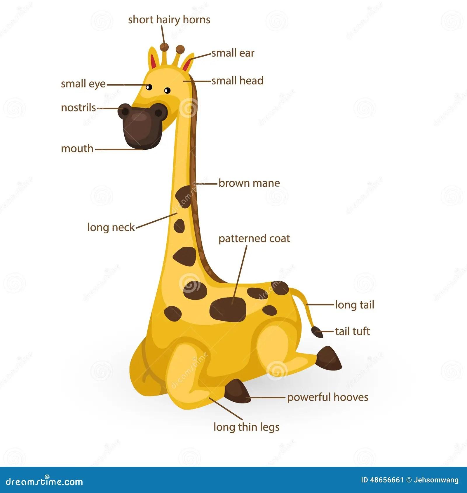 Giraffe Vocabulary Part Of Body Stock Vector