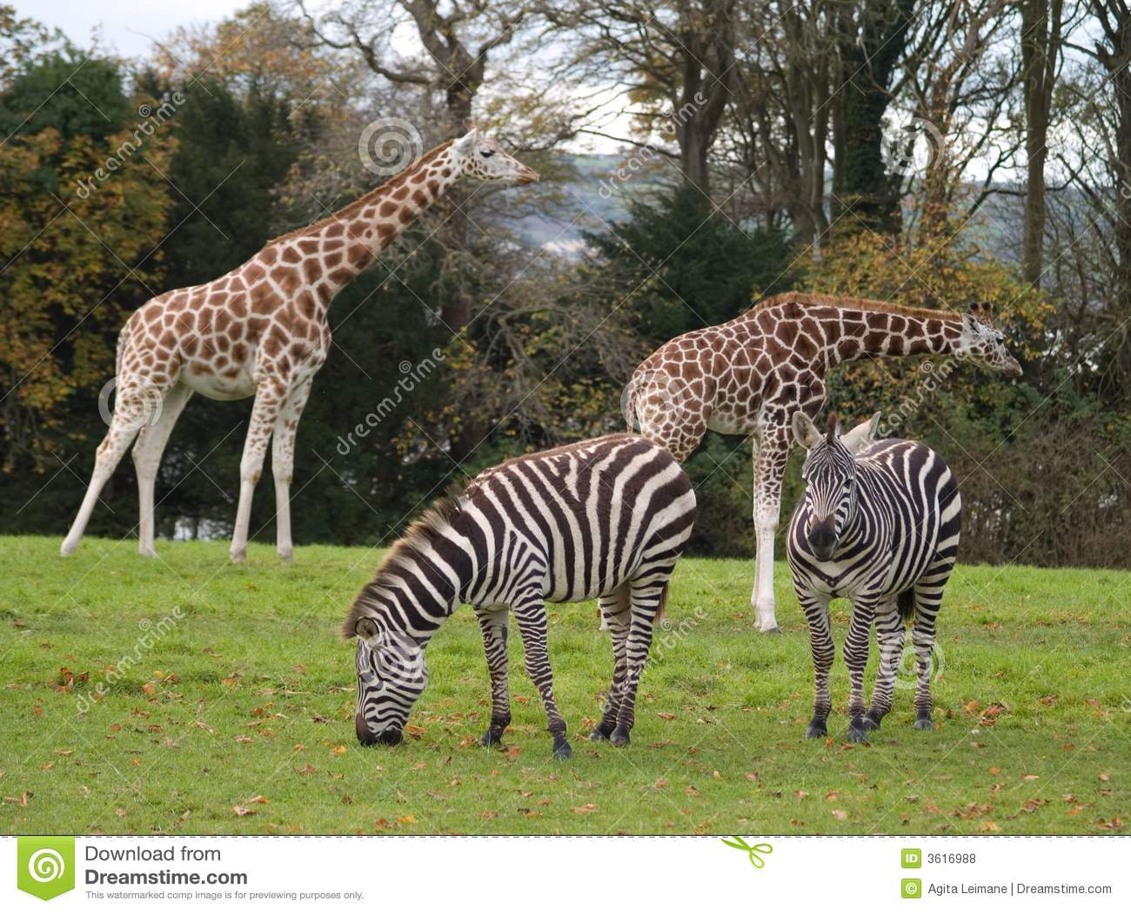 Giraffes And Zebras Royalty Free Stock Photos