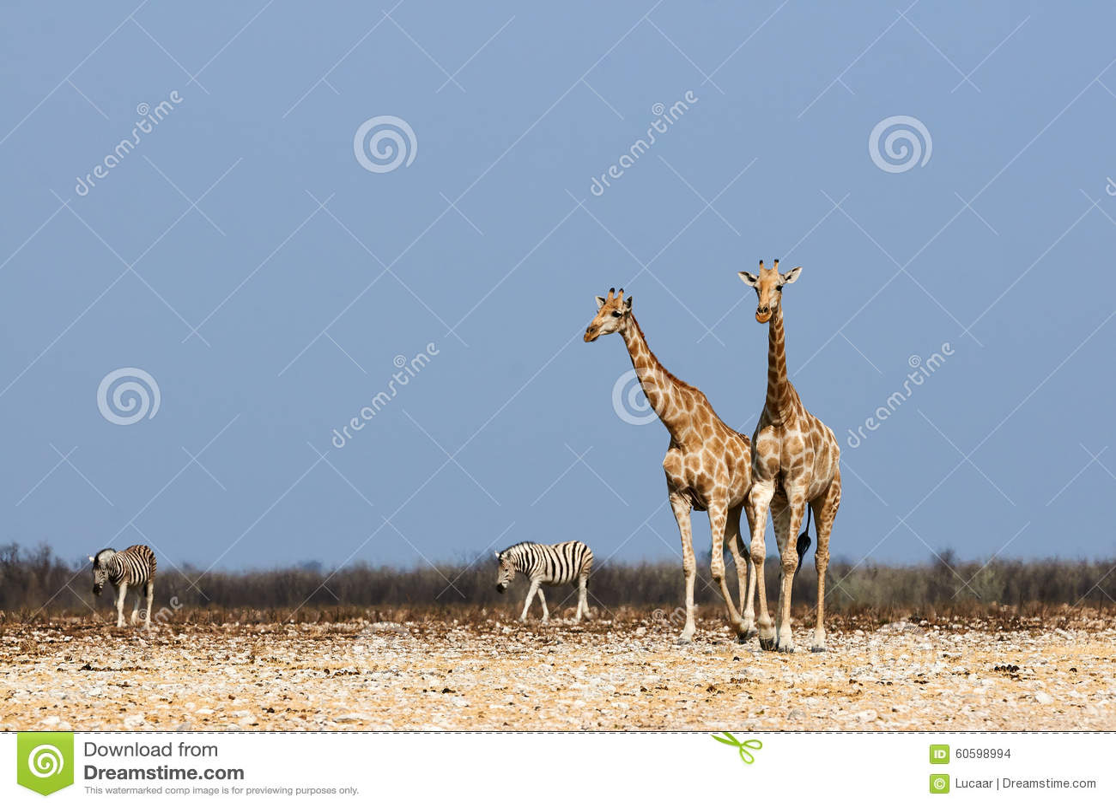 Giraffes And Zebras Stock Photo Image Of Ecology Mammal