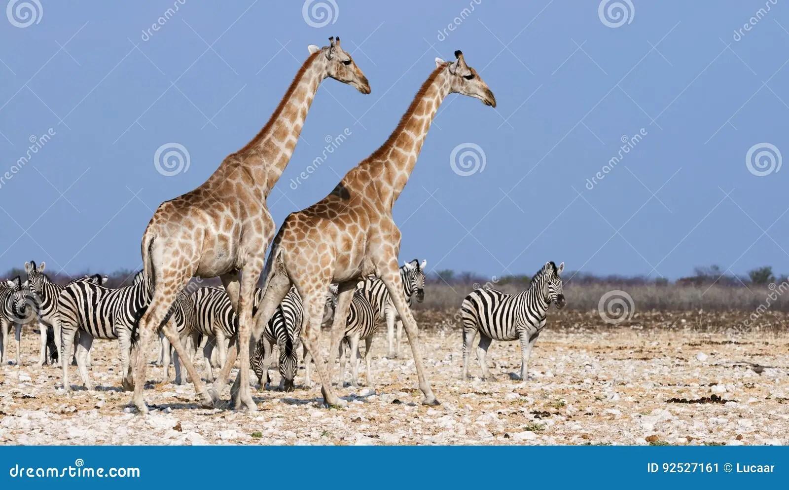 Giraffes And Zebras Stock Image Image Of Savanna Waiting
