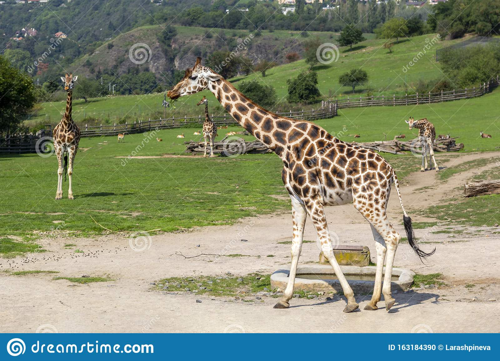 Giraffes And Zebras Walk In Green Meadow And Eat Grass
