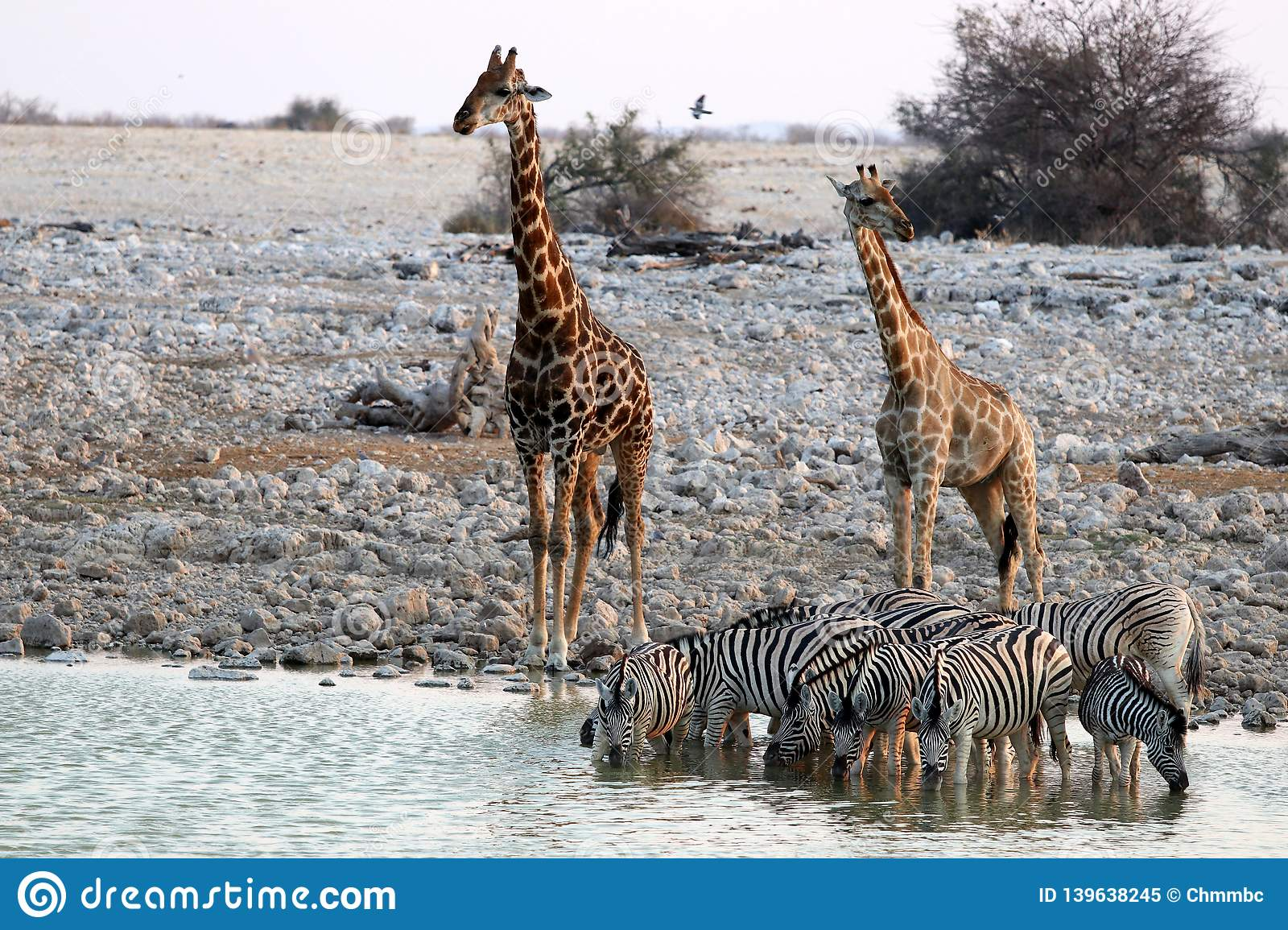 Giraffes And Zebras At The Waterhole