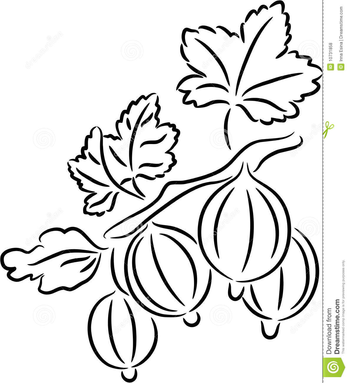 Gooseberry Stock Vector Illustration Of Isolated