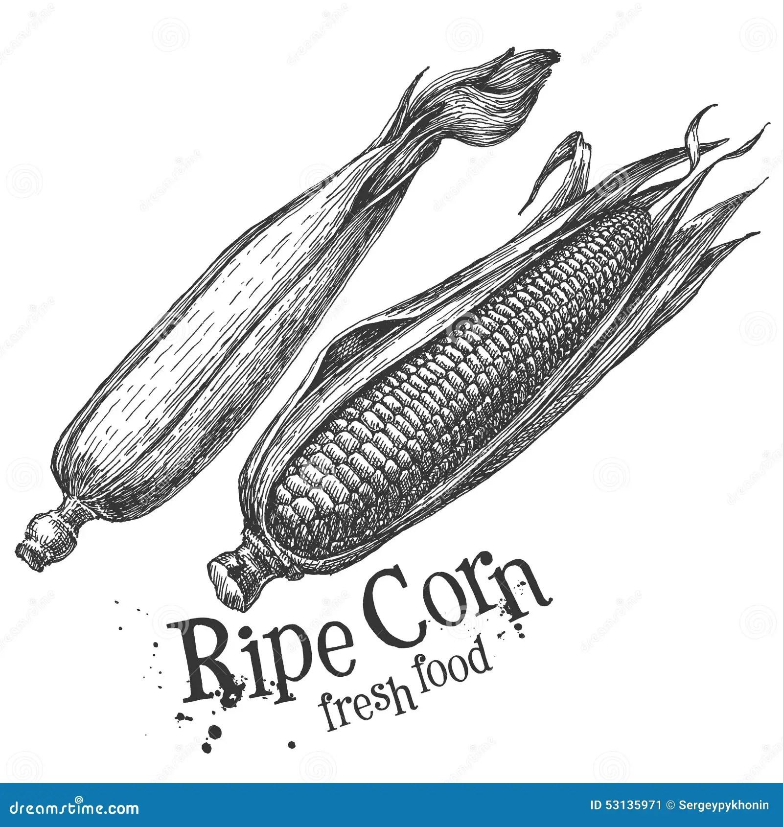 Graan Mais Op Een Witte Achtergrond Schets Stock