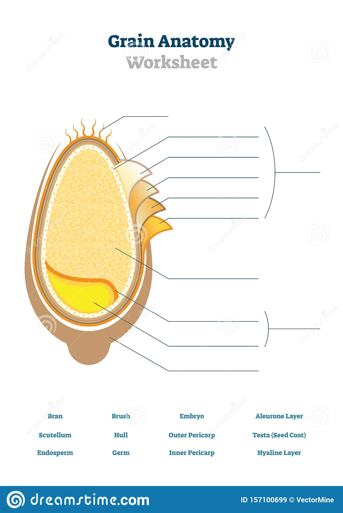 Grain Anatomy Worksheet Vector Illustration Blank Seed