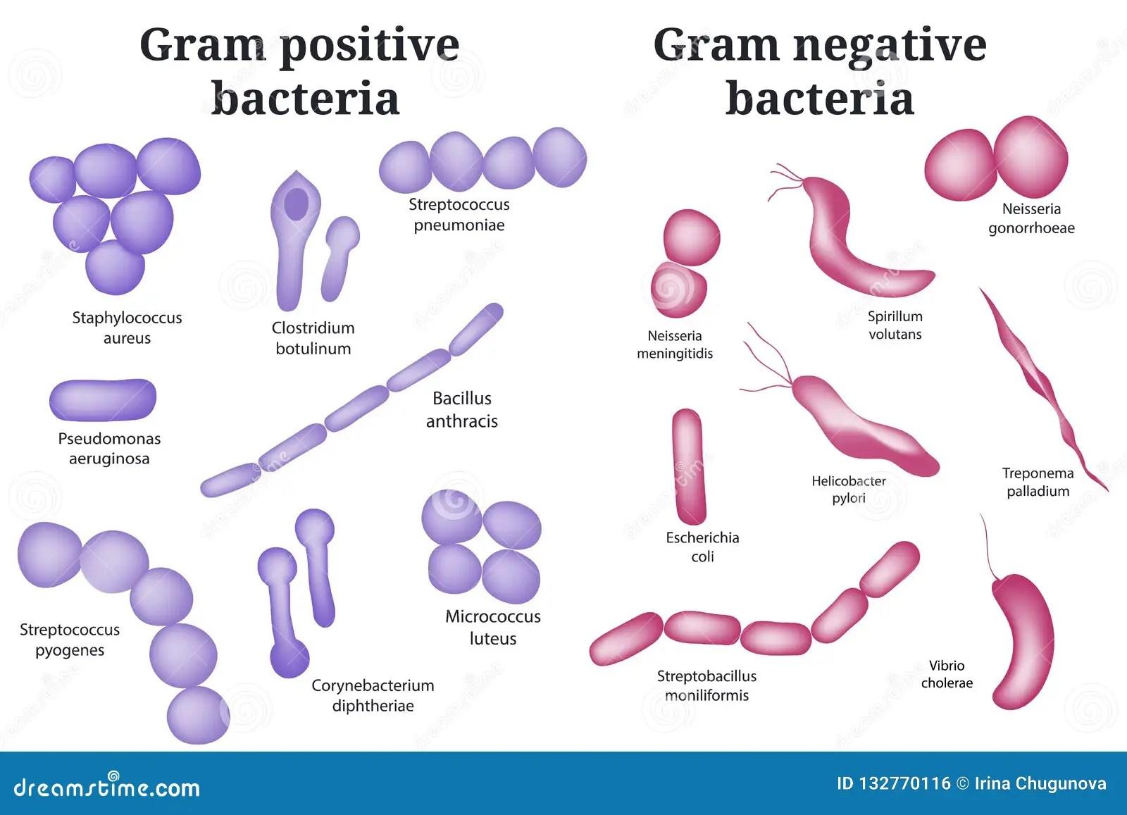 Gram Positive And Gram Negative Bacteria Stock Vector