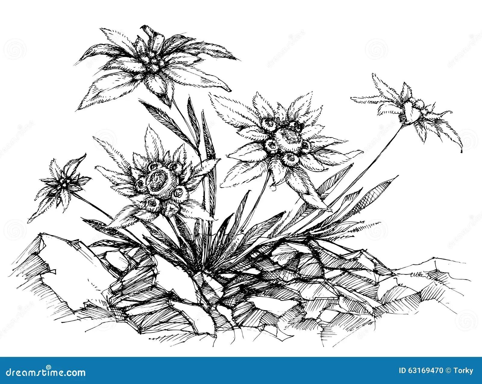 Gravure A L Eau Forte D Edelweiss Illustration De Vecteur