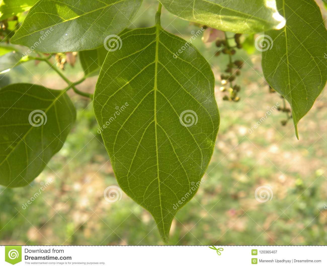 Green Color Leaf Of A Tree Stock Image Image Of Macro
