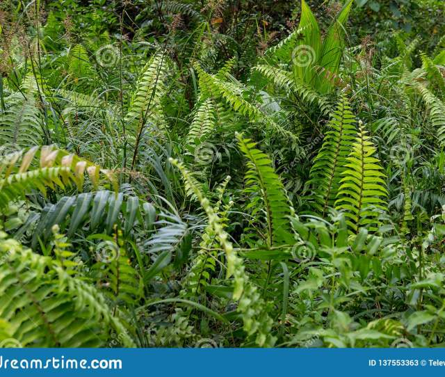 Green Fern Leaves In Summer Forest Fern Leaf Meadow Summer Foliage With Green Fern Leaf Natural Greenery Background Or Wallpaper
