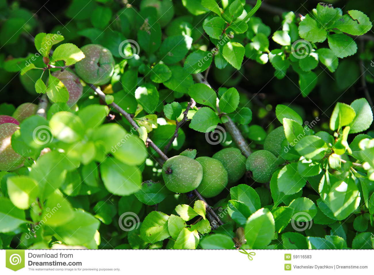 Green Fruits Of Japanese Quince Garland On Branches Of A
