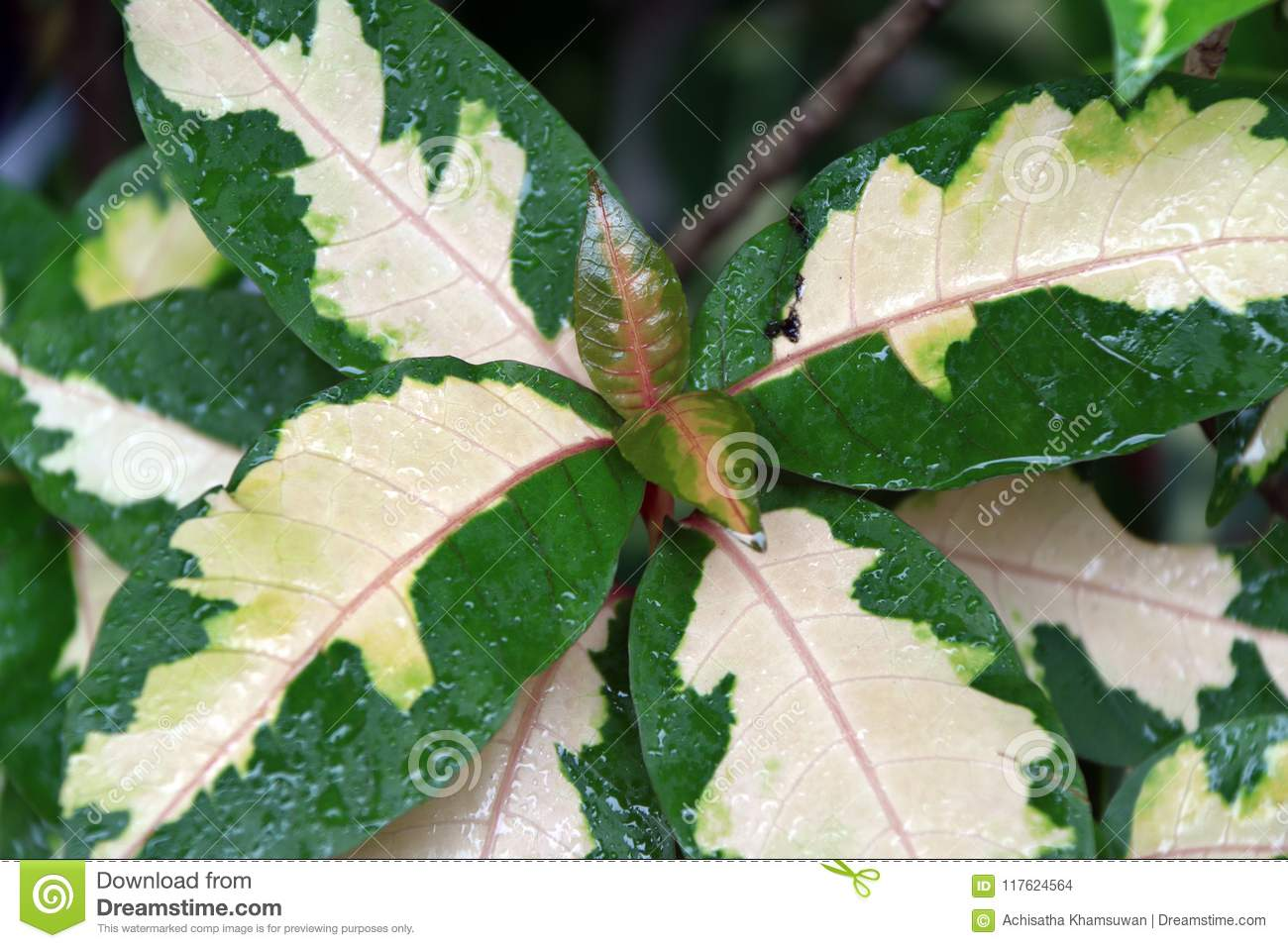 Green Leaf And The White Color On The Center And The Shape