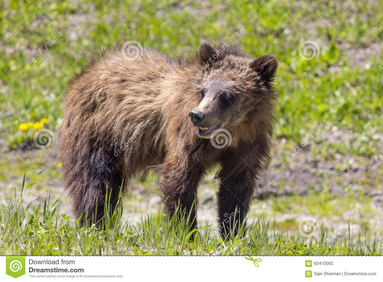 Grizzly Bear Cub Stock Photo Image Of Forest Wildlife