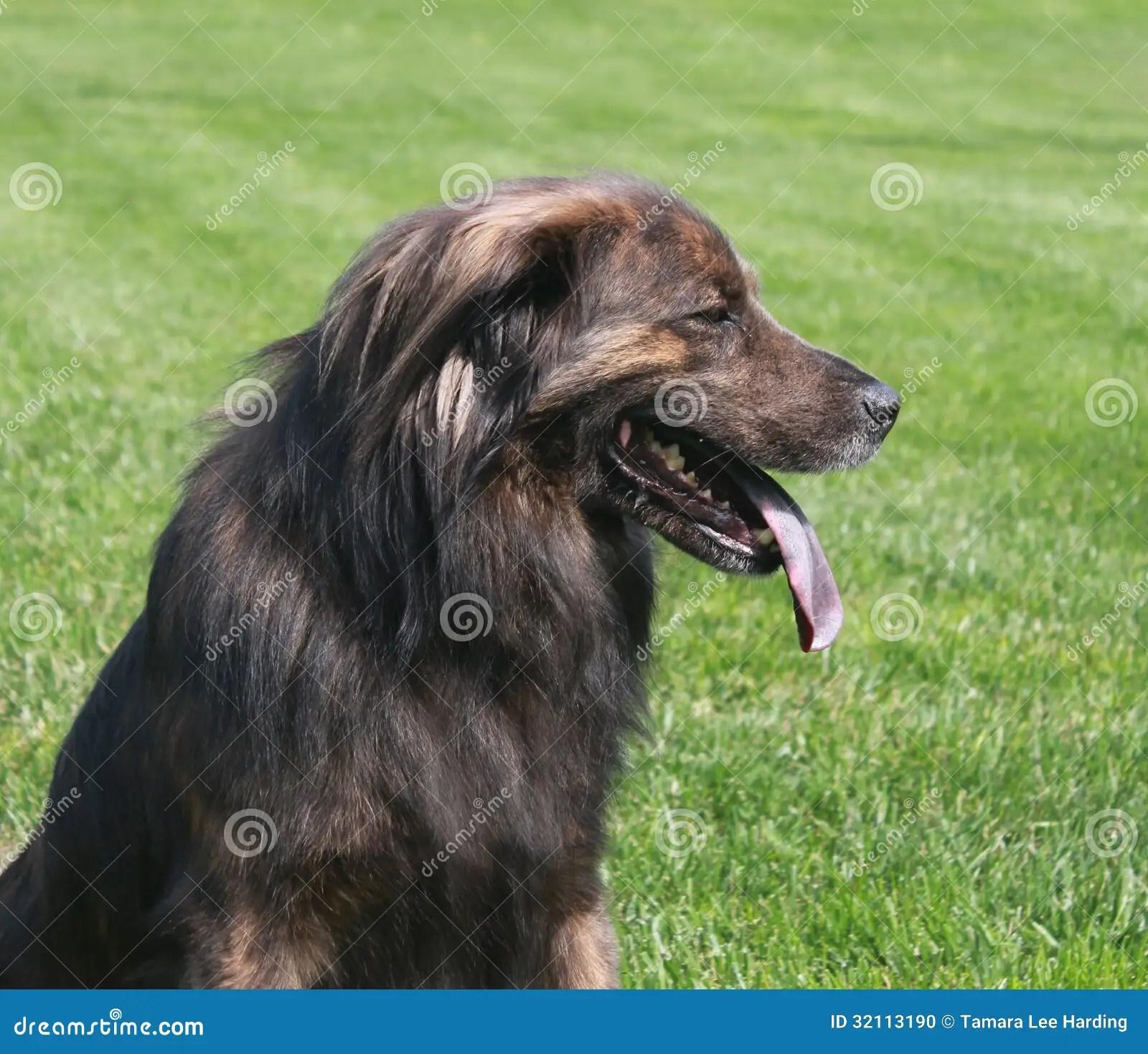 Grote Bruine Hond Met Lang Haar Stock Foto Afbeelding