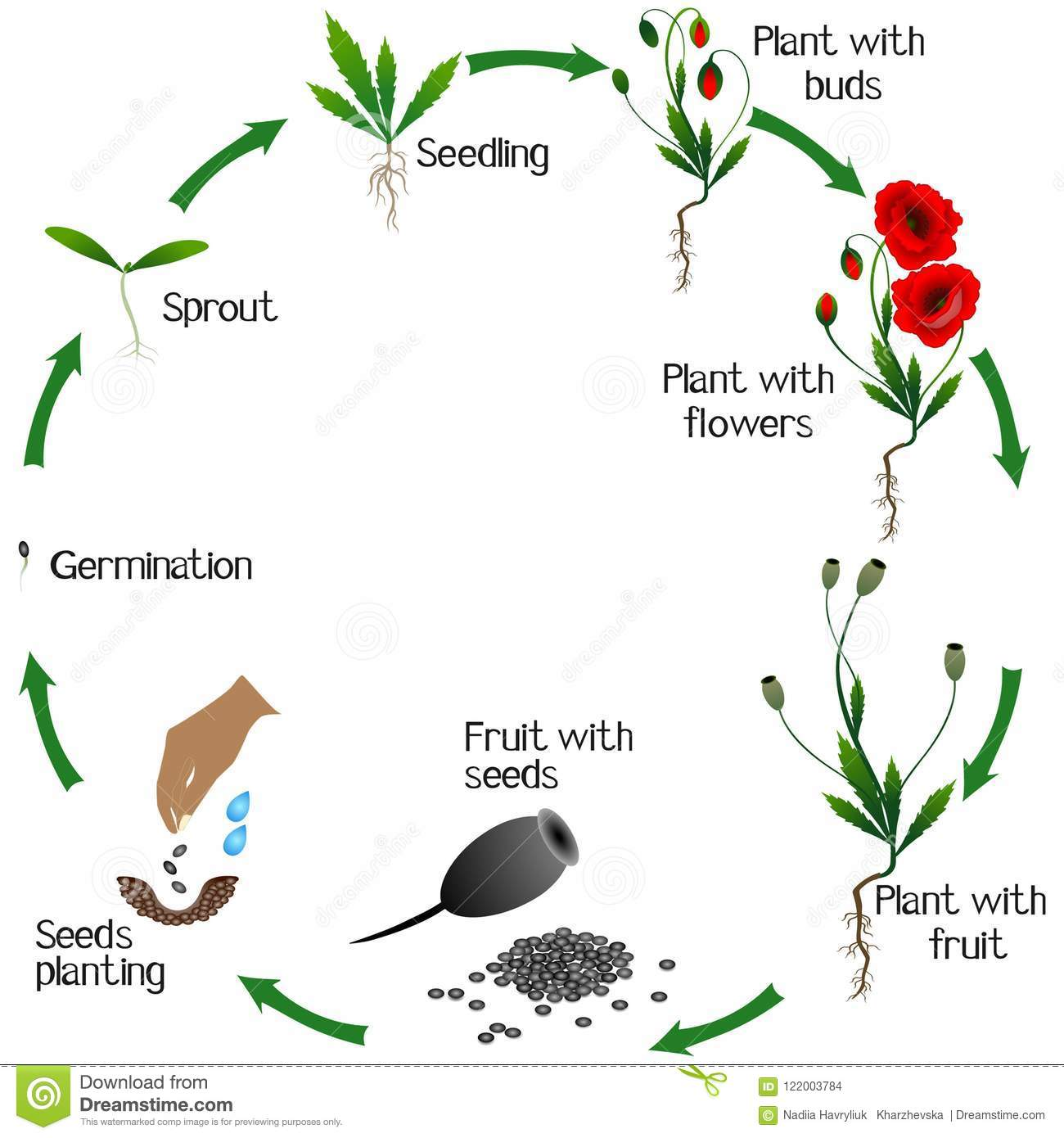A Growth Cycle Of Poppy Plant On A White Background Stock