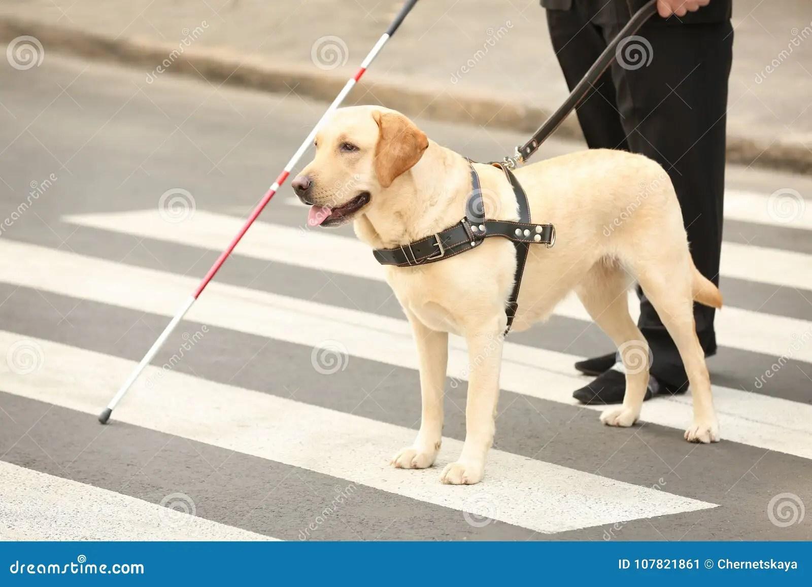 Guide Dog Helping Blind Man Stock Image