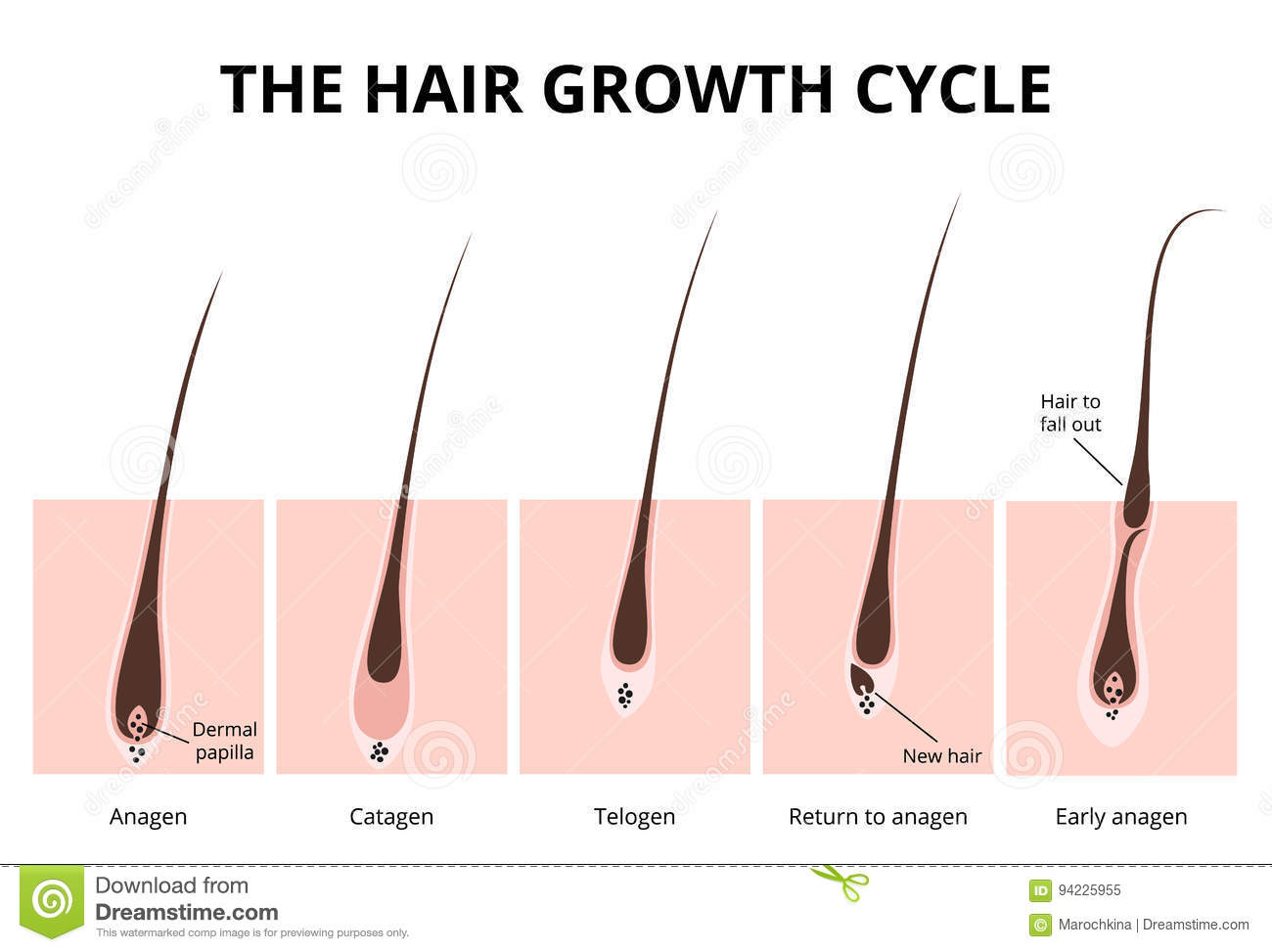 Hair Follicle Diagram Color Worksheet