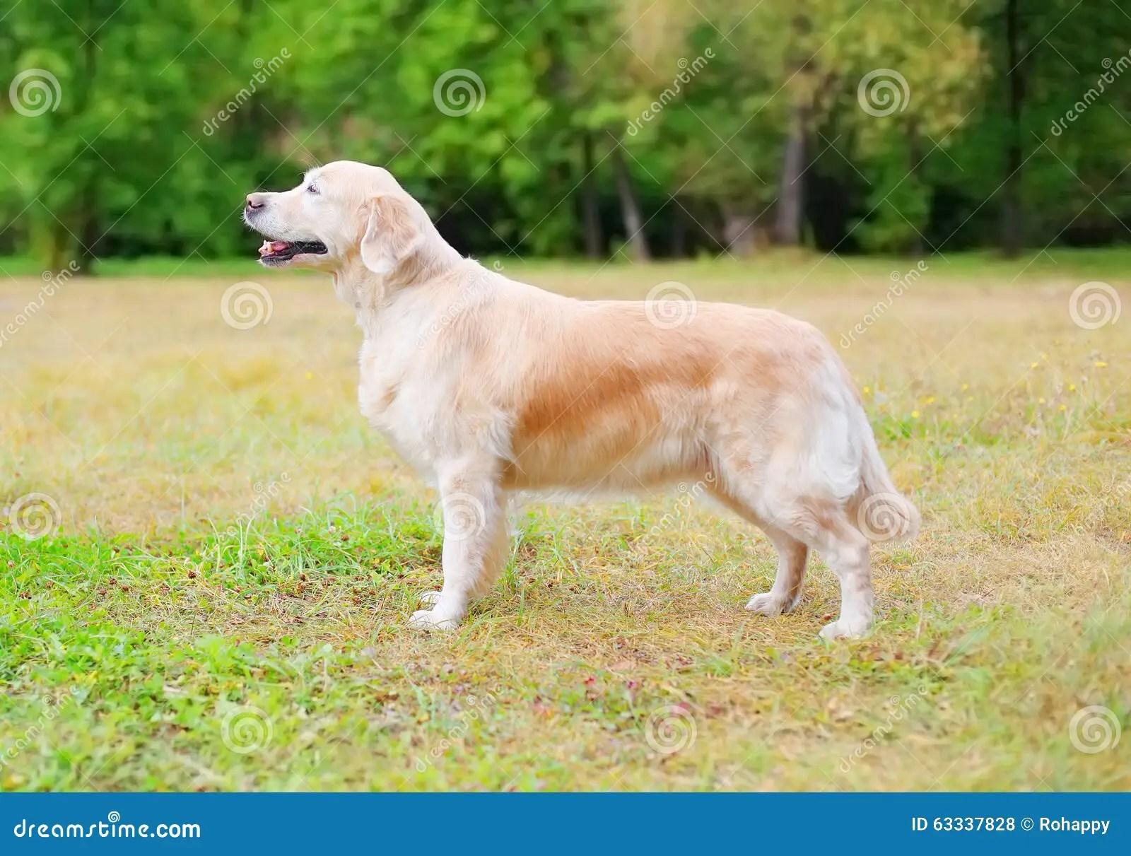 Happy Golden Retriever Dog Standing On Grass In Park