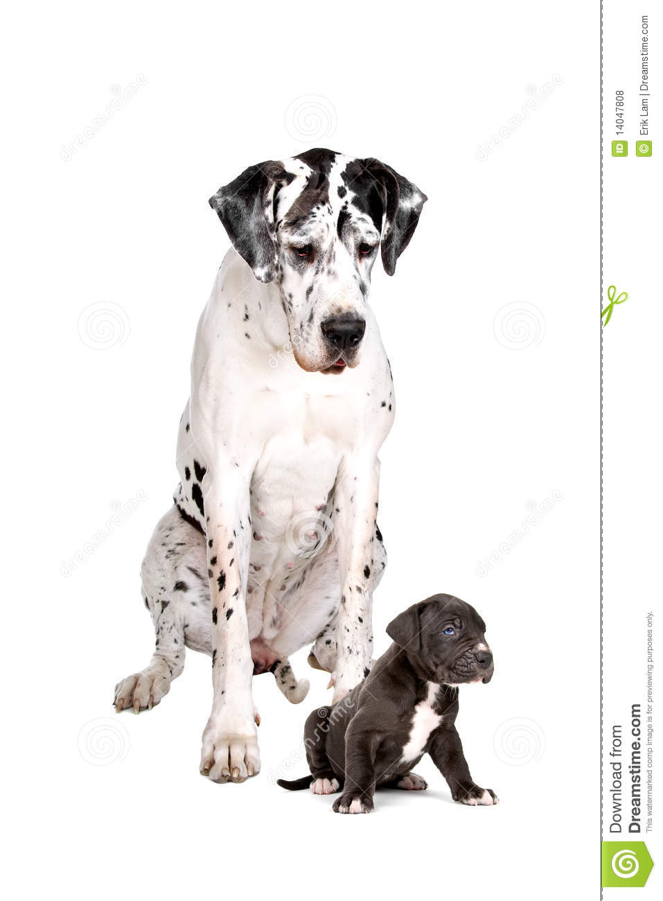 Harlequin Great Dane And Pup Stock Photo Image 14047808