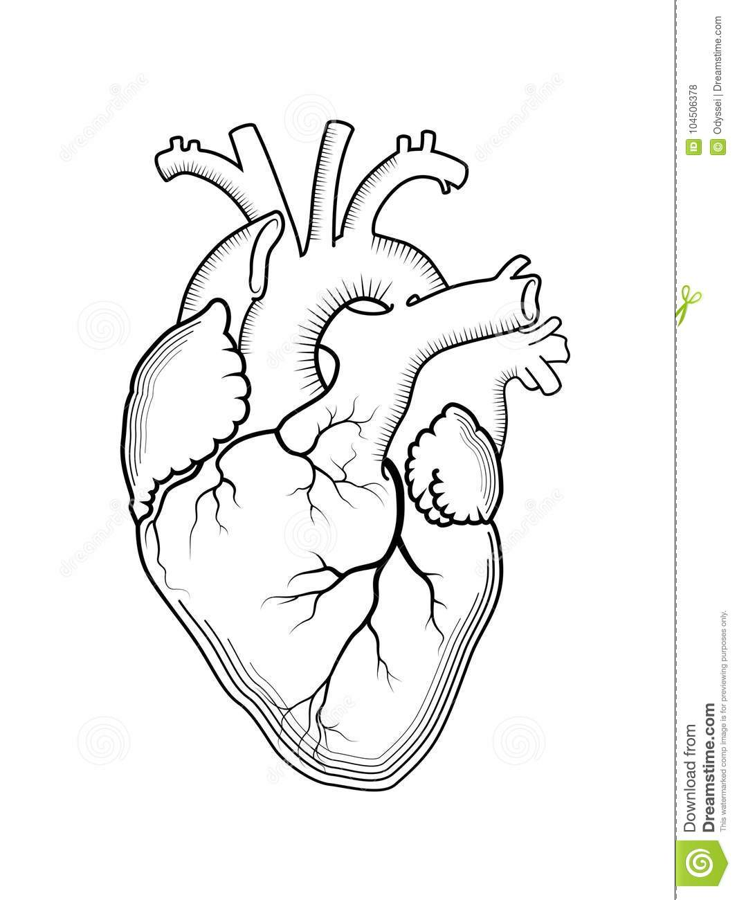 Heart The Internal Human Organ Anatomical Structure