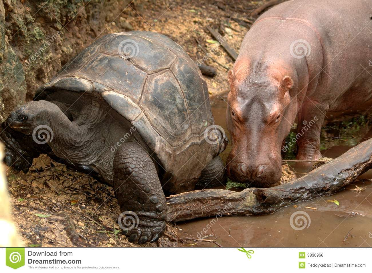 Hippo And Giant Tortoise Royalty Free Stock Image