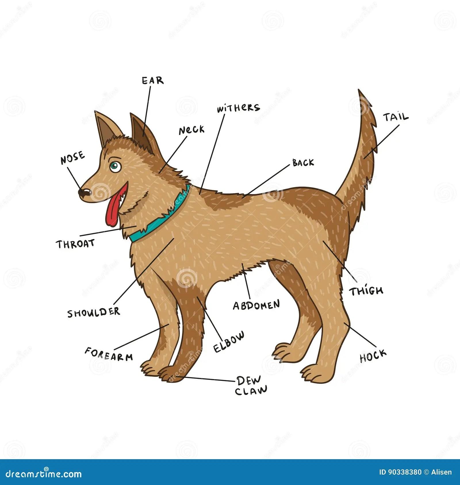 Hond Externe Anatomie Puppydelen Op Het Engels Vector