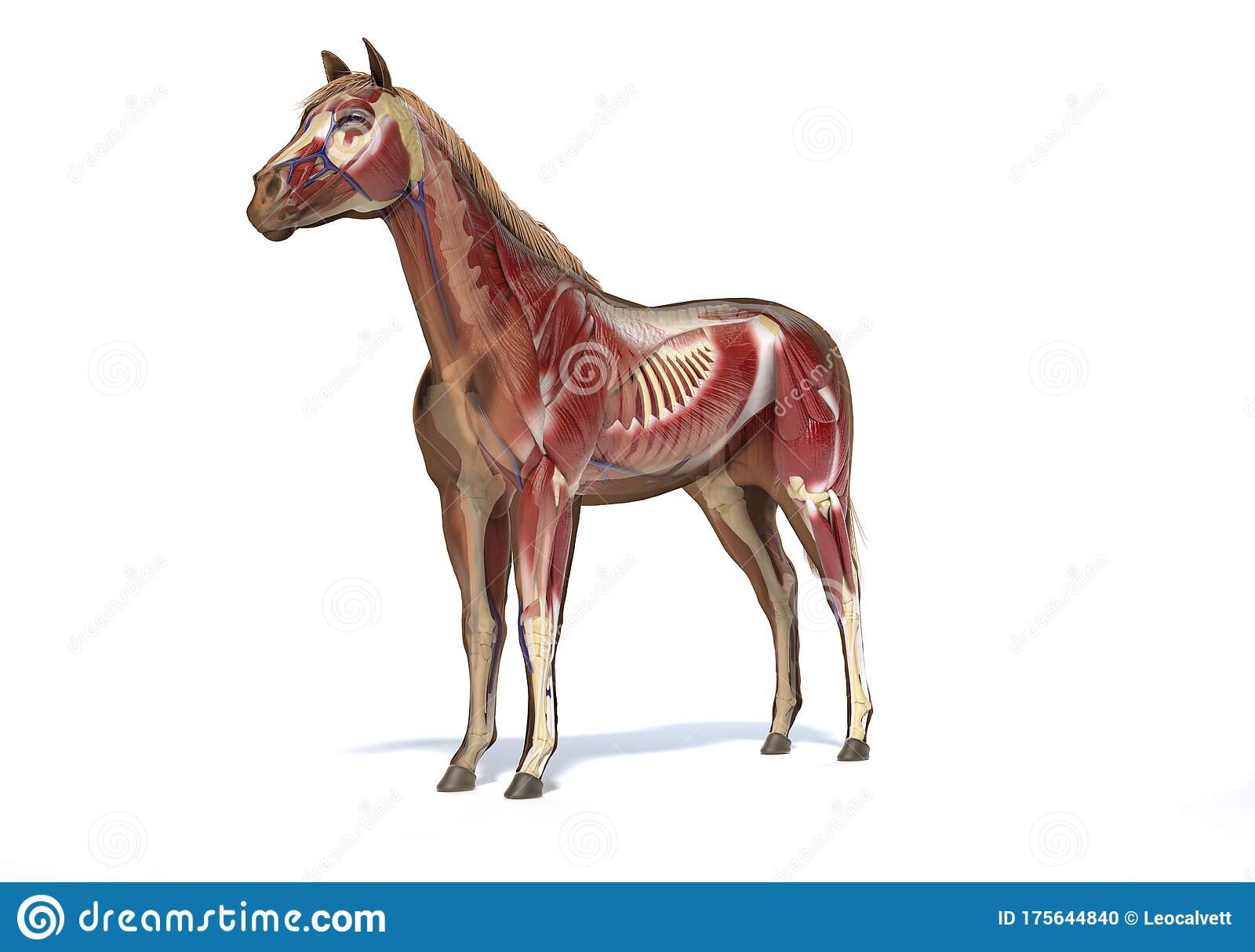 Horse Anatomy Muscular And Skeletal Systems Stock