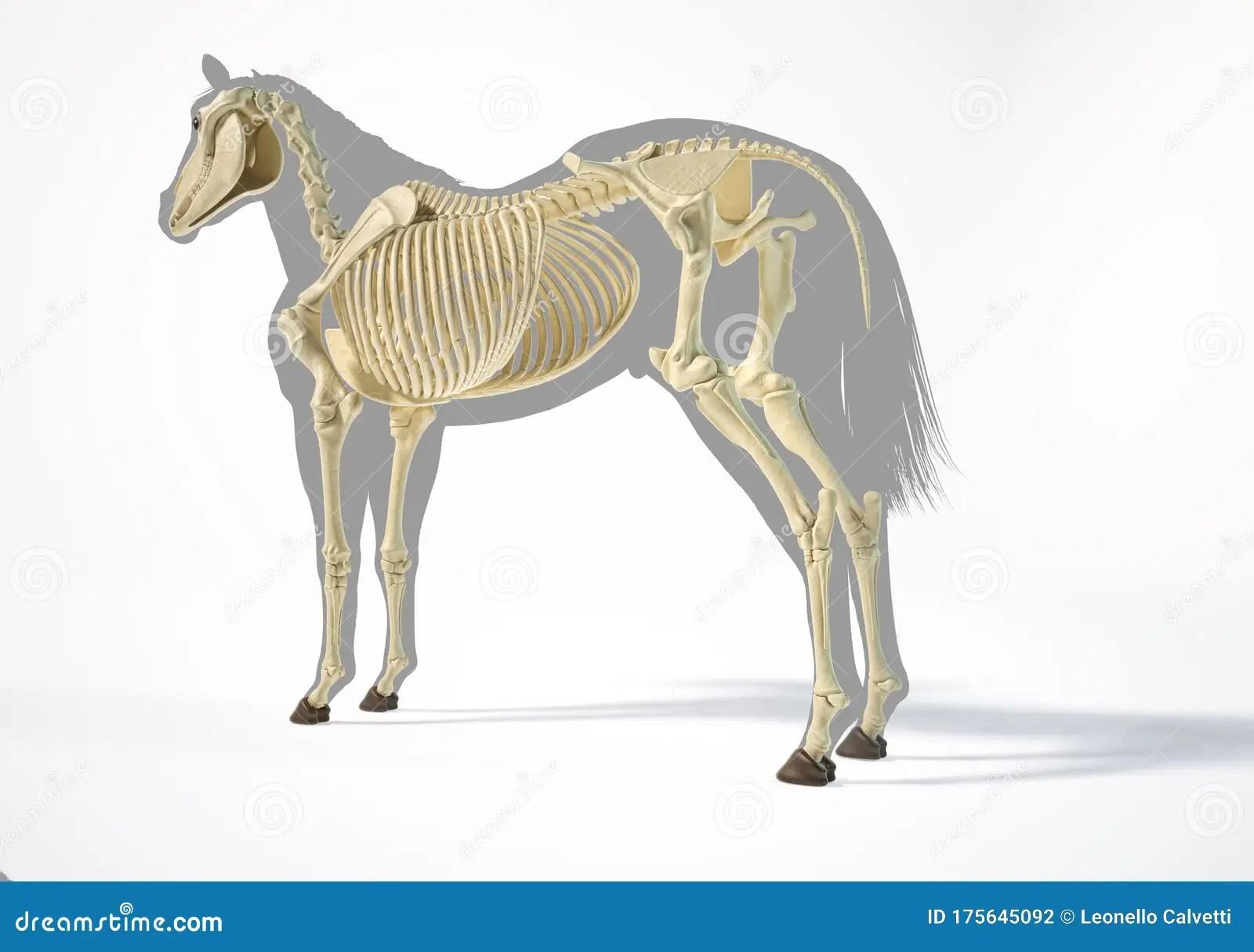 Horse Anatomy Skeletal System Stock Photo