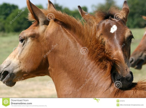 Horse Play Stock Photos Image 31373