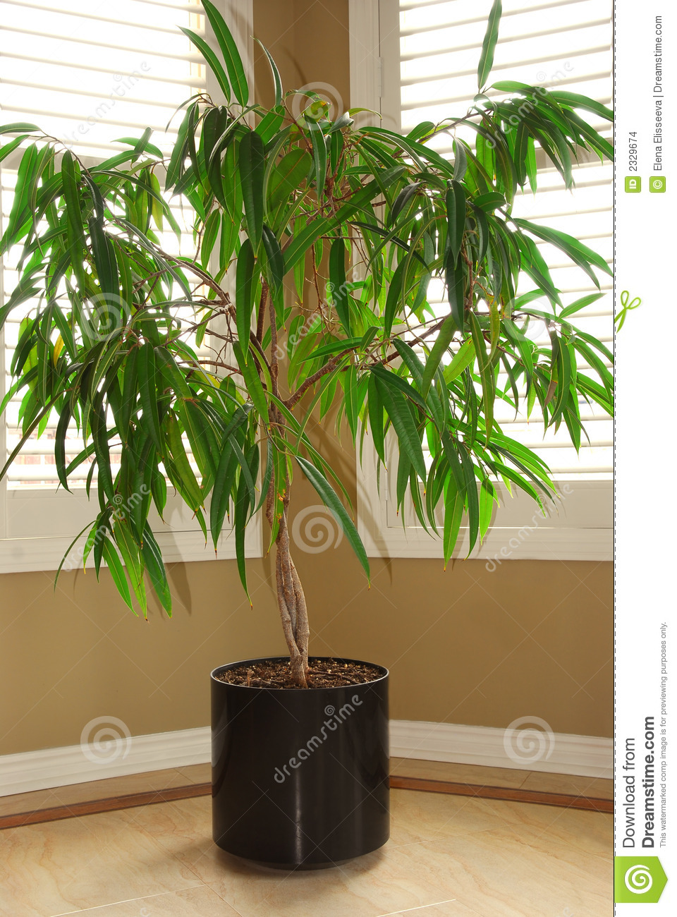 House Plant Stock Photo Image Of Leaves Ficus Estate