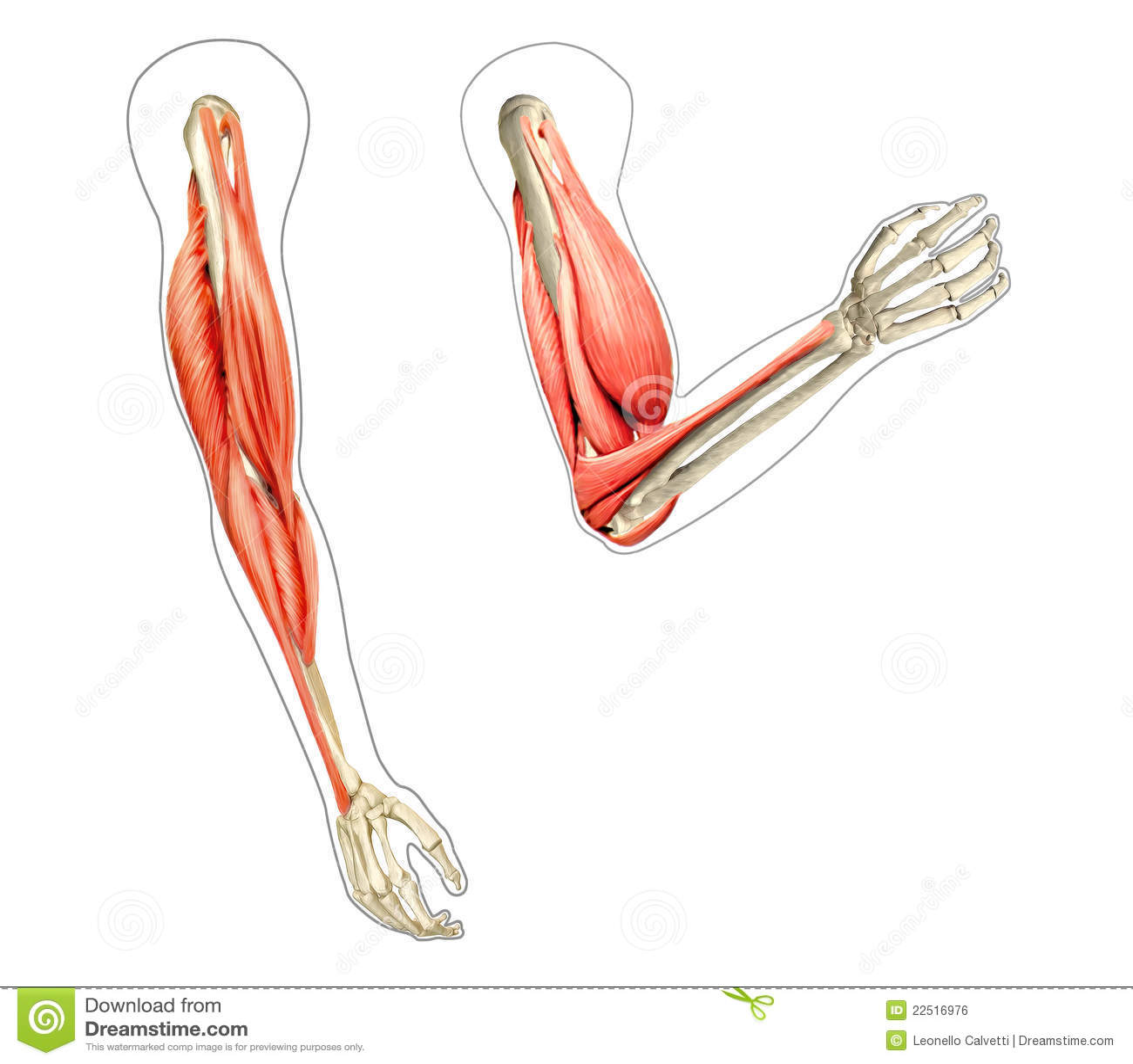 Human Arms Anatomy Diagrams Stock Illustration