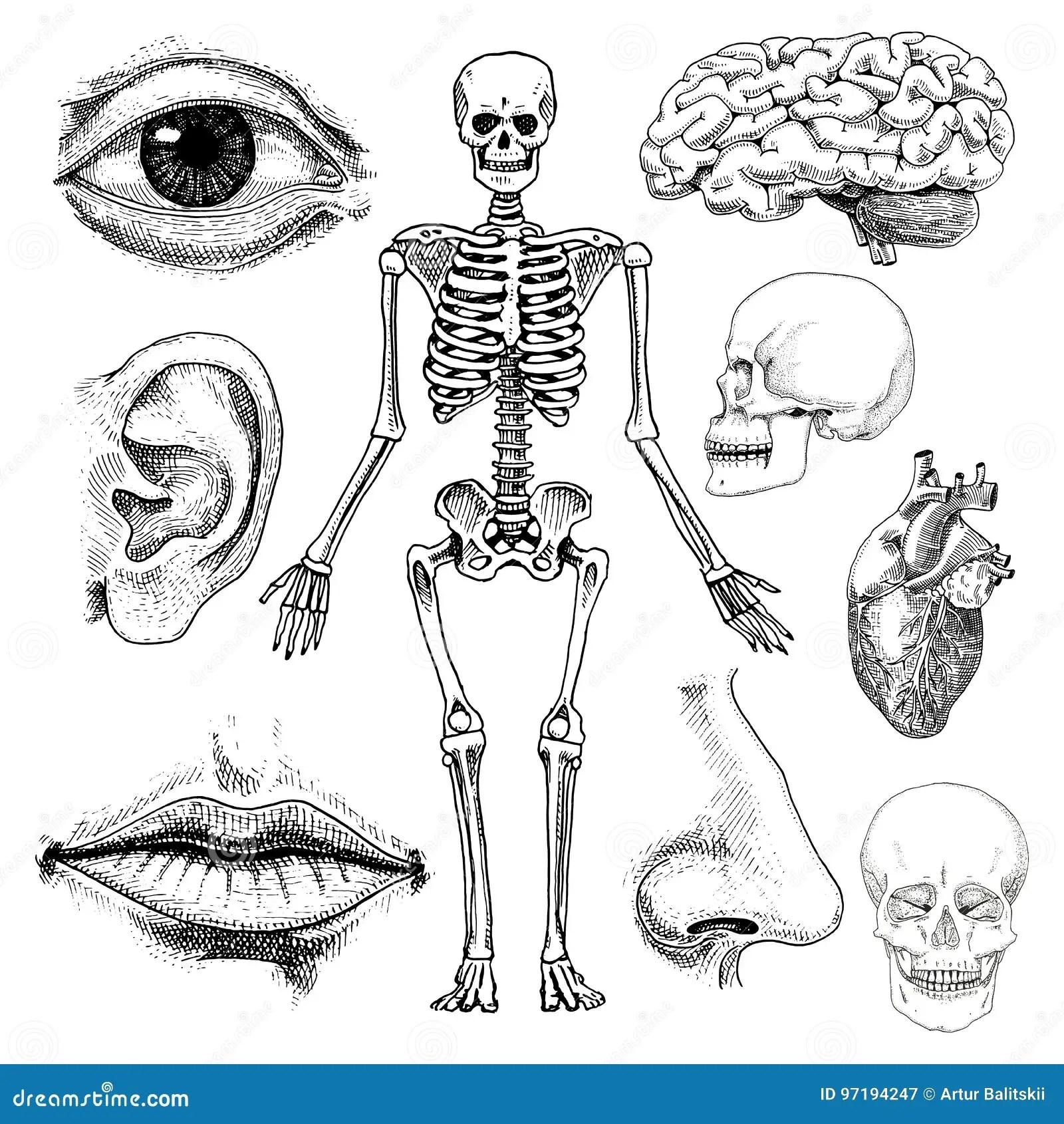 Cartoon Illustration Of Human Internal Ear Anatomy