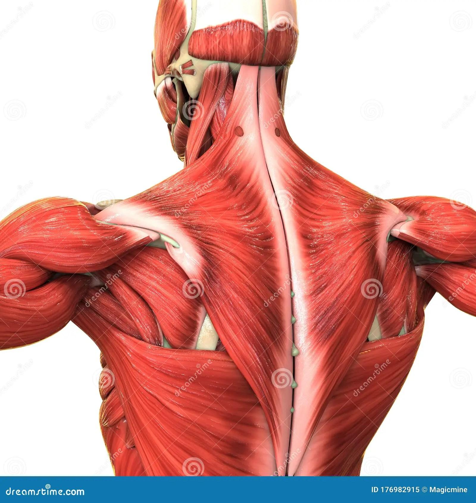 Human Body Muscular System Anatomy Stock Illustration