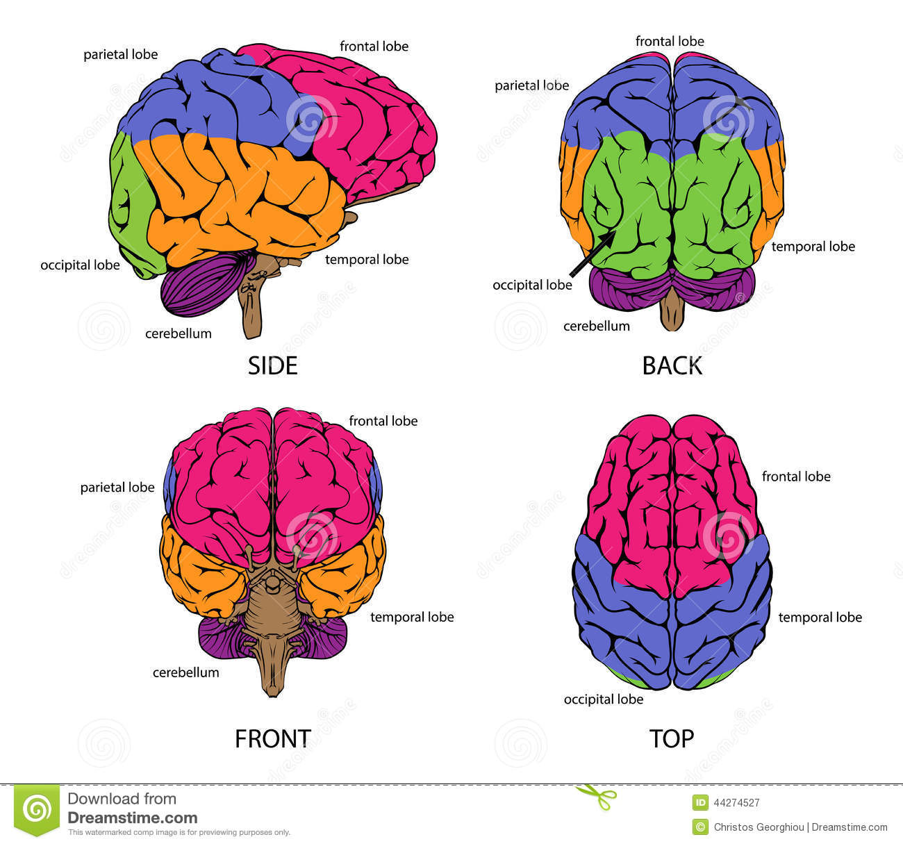 Human Brain From All Sides Stock Vector Illustration Of
