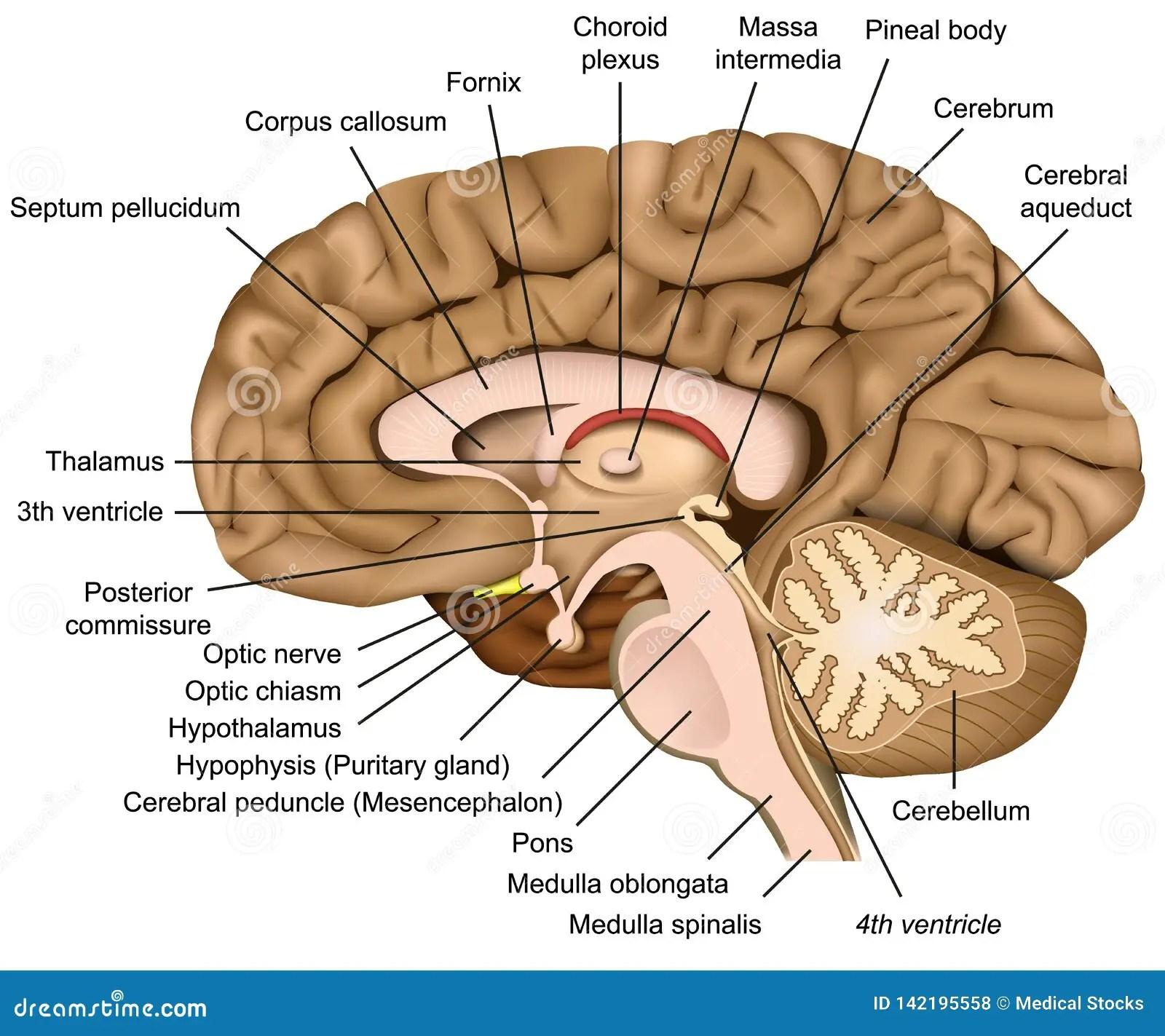Human Brain Anatomy 3d Illustration On White Background