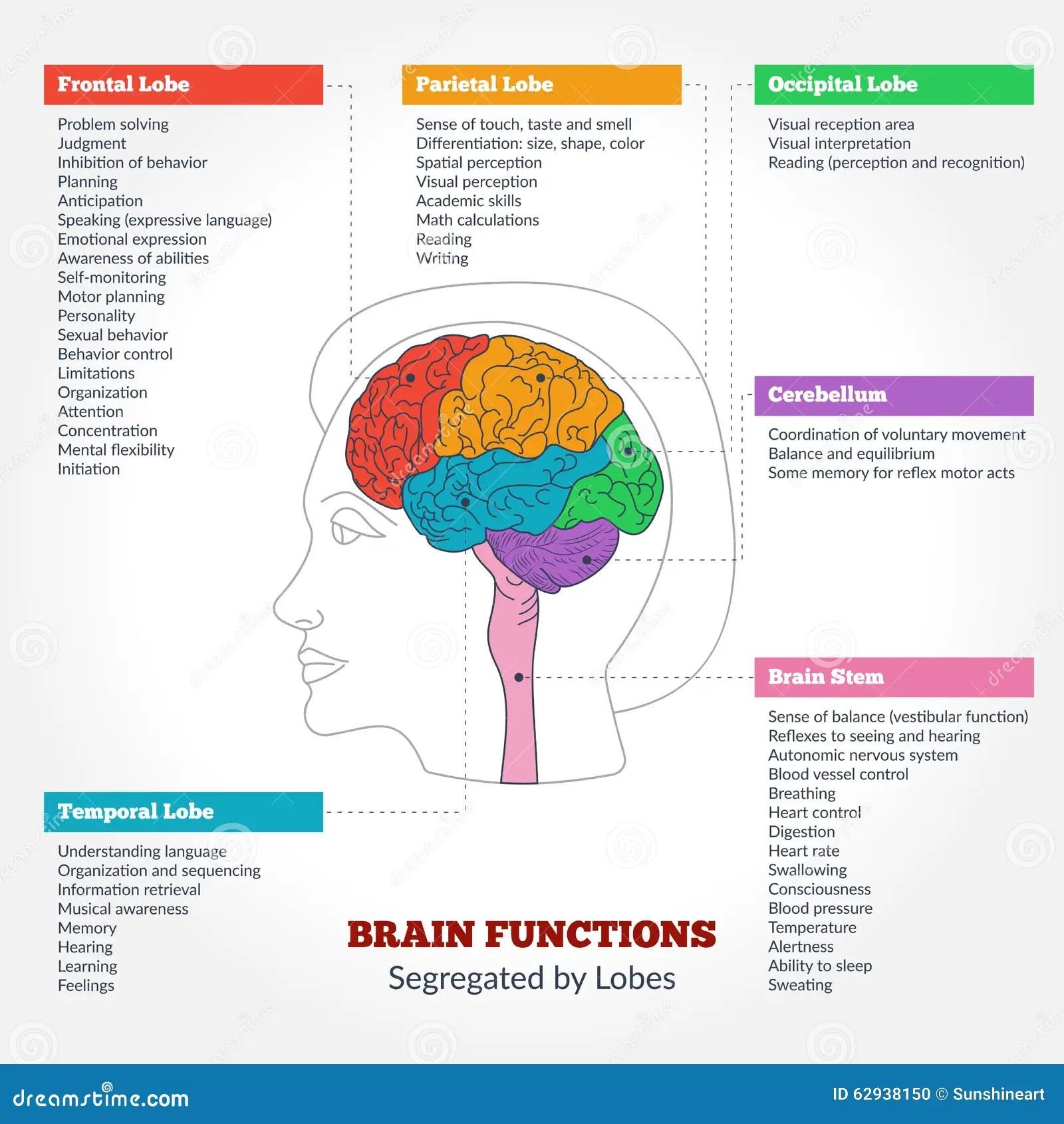 Human Brain Anatomy And Functions Stock Vector