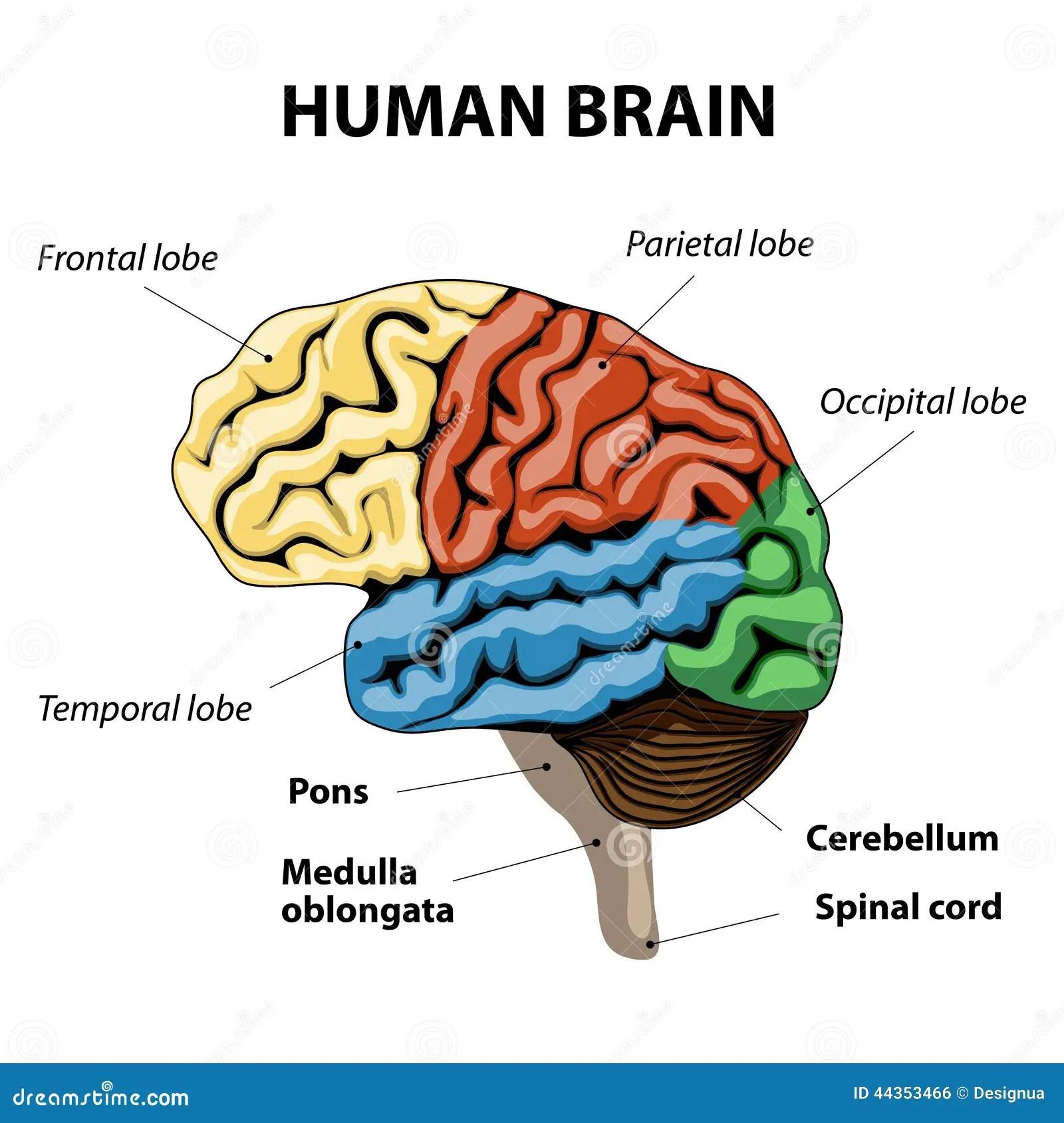 Human Brain Anatomy Stock Vector Illustration Of Diagram