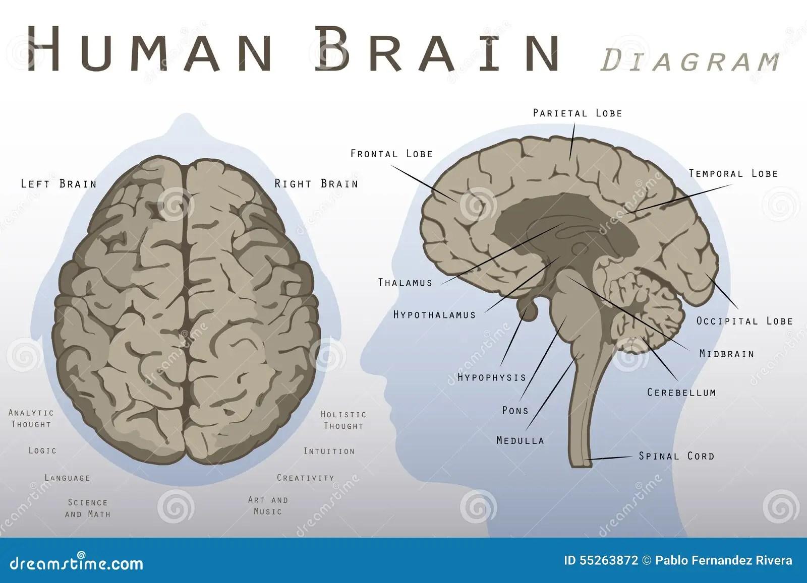 Human Brain Diagram Stock Illustration