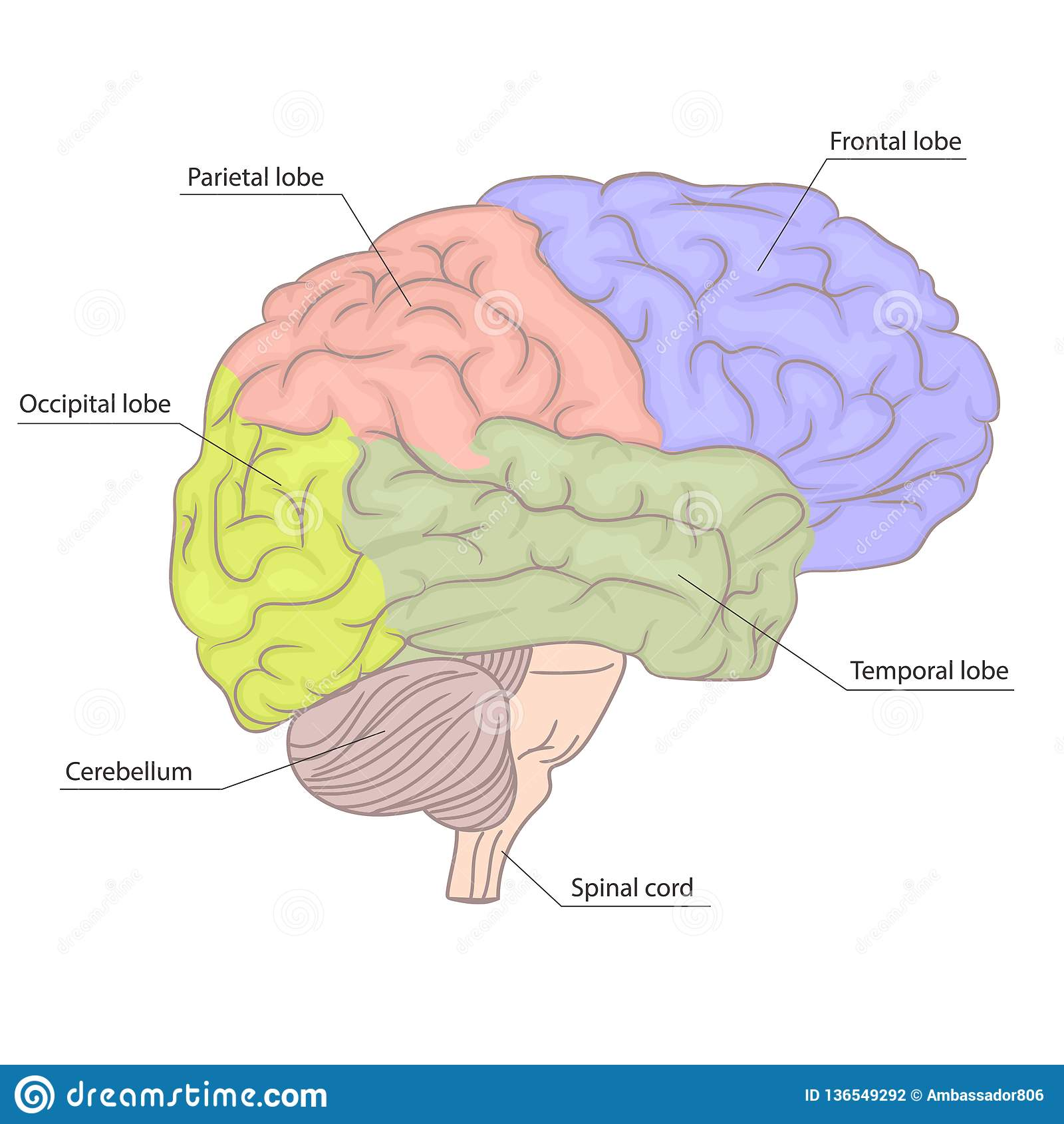 Human Brain Organ Parts Anatomy Diagram Colorful Design