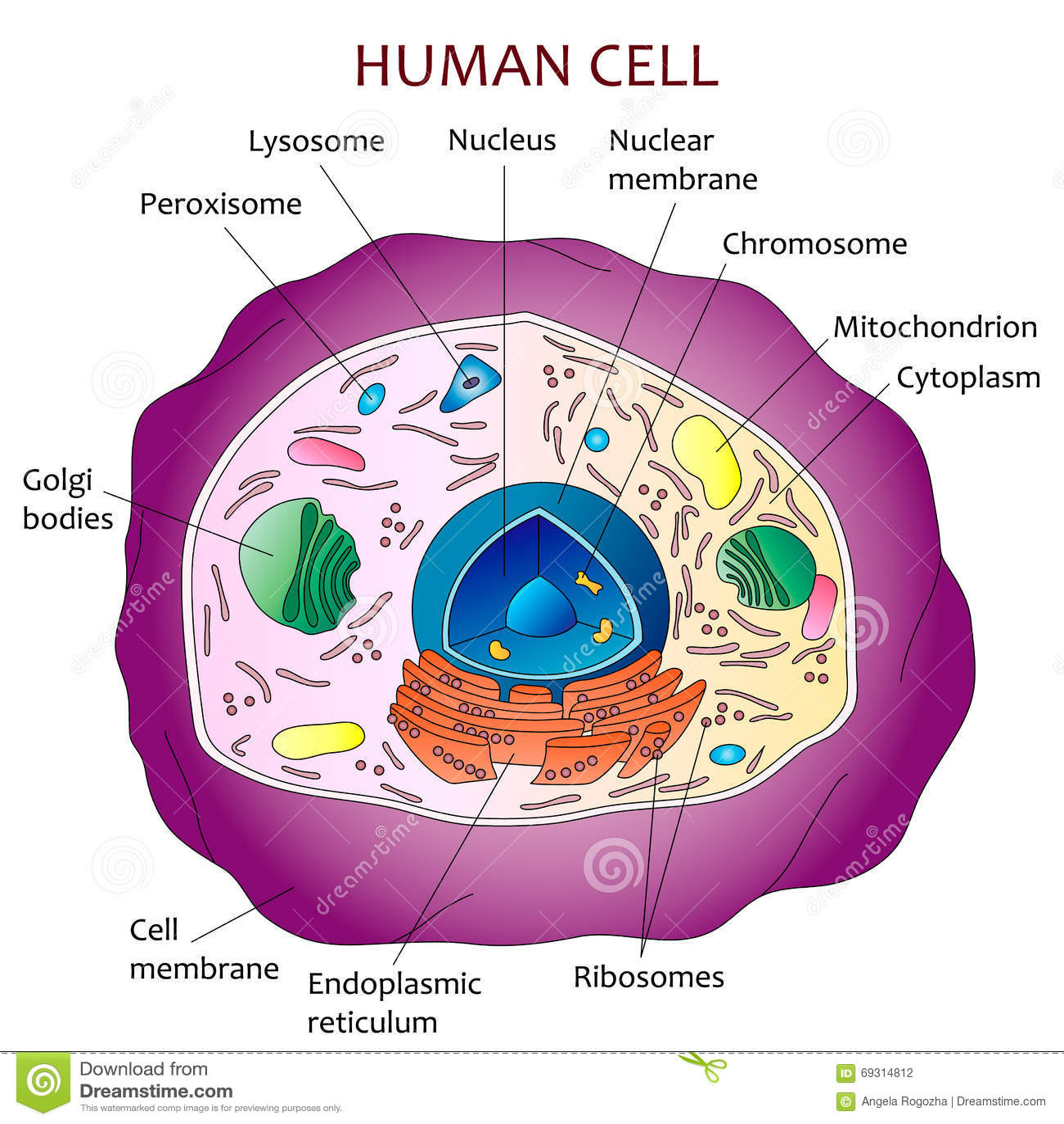 Human Cell Diagram Stock Vector Illustration Of Vector