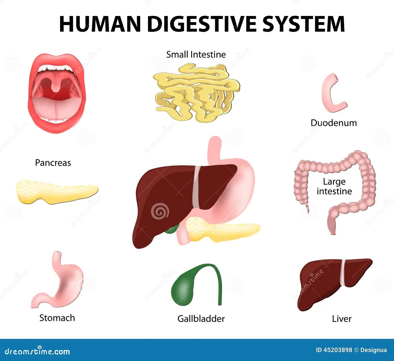 Human Digestive System Set Vector Illustration
