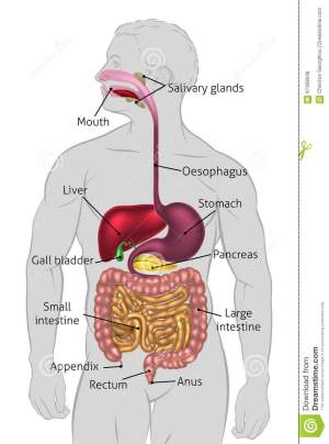 Human Digestive System Tract Stock Vector  Illustration of colon, diagram: 67309648