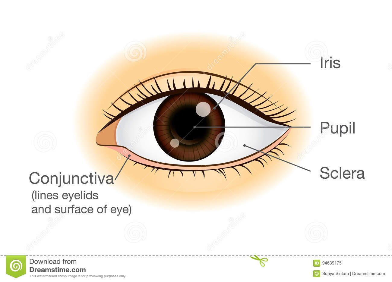 Human Eye Anatomy In Front View Stock Vector