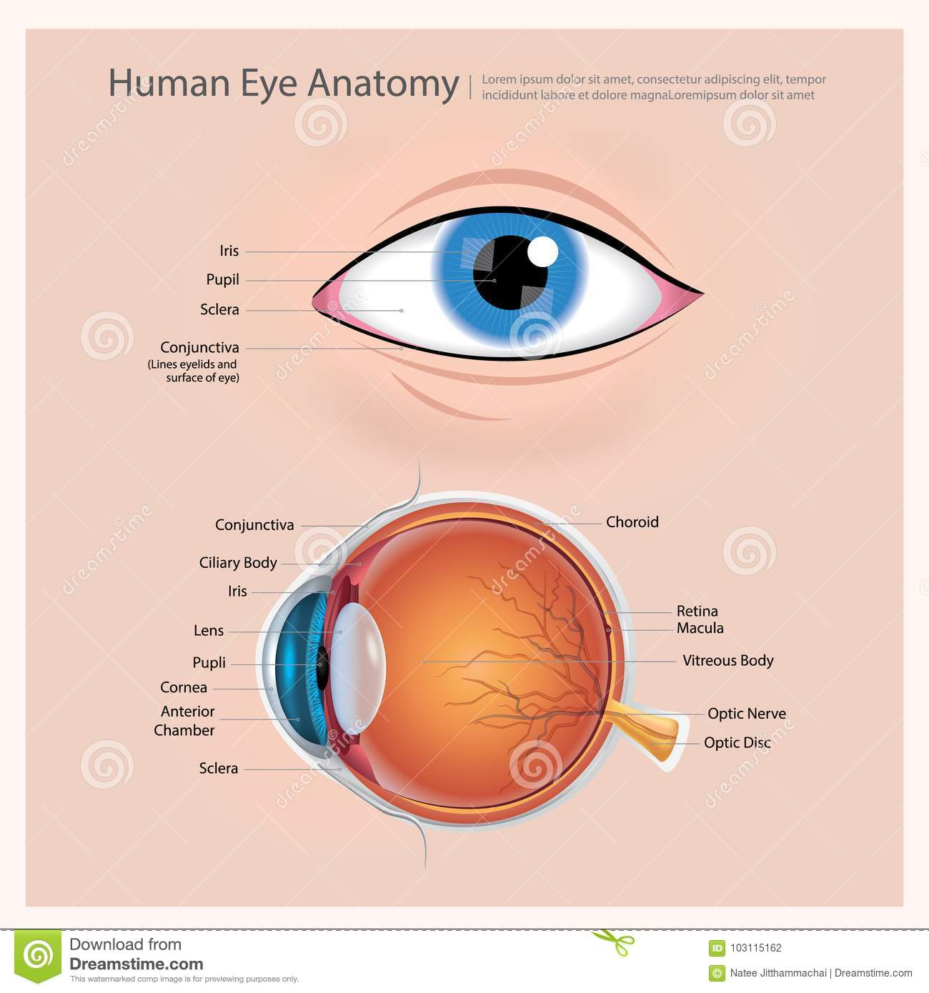 Human Eye Anatomy Stock Vector Illustration Of Anterior
