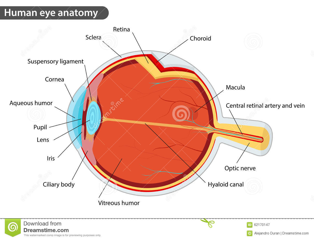 Human Eye Anatomy Stock Vector Illustration Of Biological