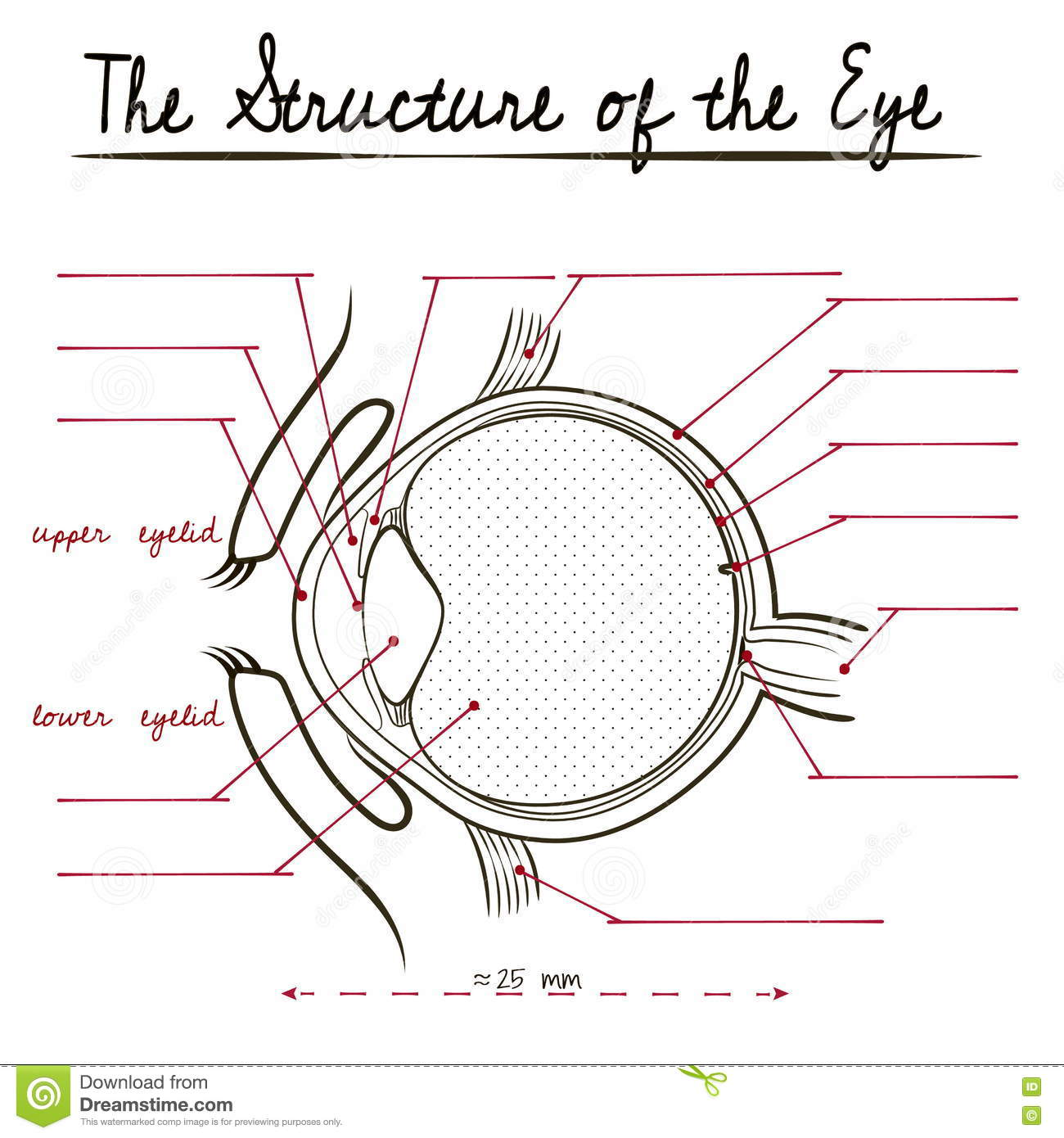 The Human Eye Structure Stock Vector Illustration Of Teaching