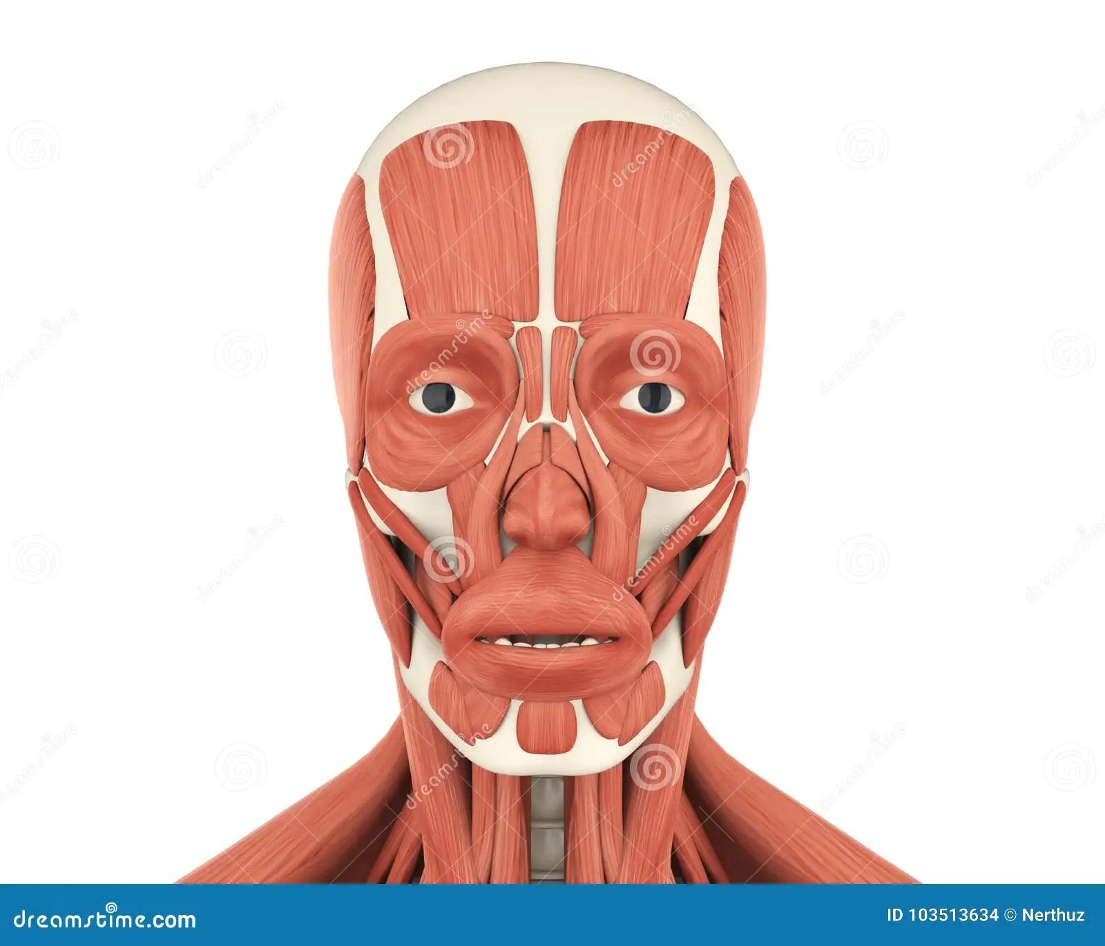 Human Facial Muscles Anatomy Stock Illustration