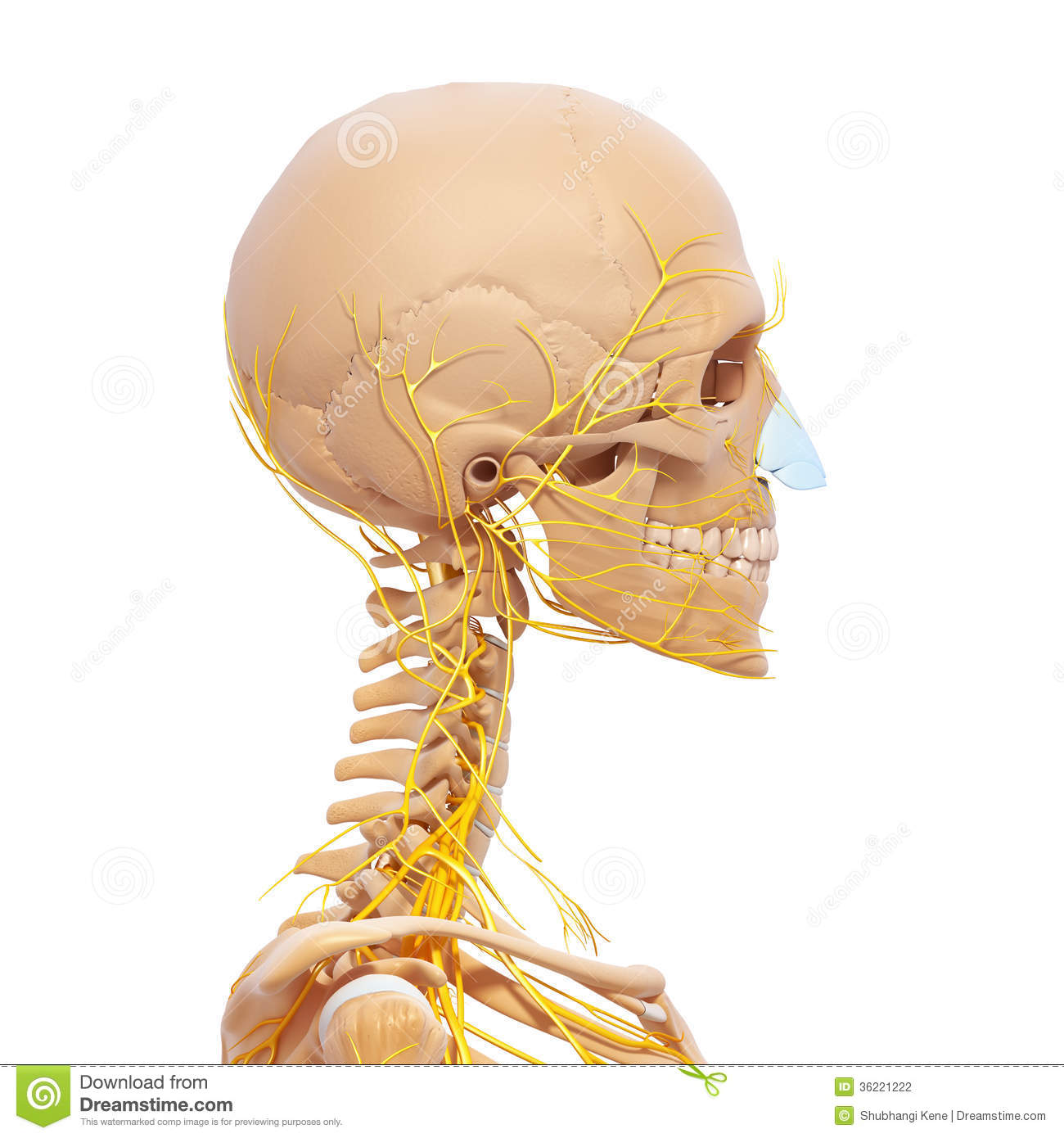 Human Head Skeleton And Nervous System Stock Illustration